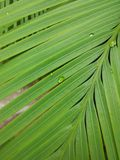 Dew on Palm Tree Leaves stock image