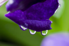 Dew on petal. Of purple orchid flower royalty free stock photo