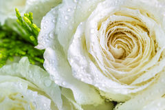 Dew on petal white rose. Stock Photos