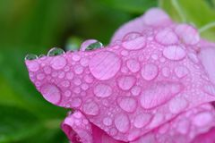 Dew on petals of dog rose. stock image