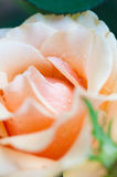 Dew on the petals of roses Stock Photography