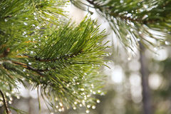 Dew on the pine branches Stock Image