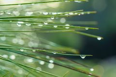 Dew on the pine tree. stock images