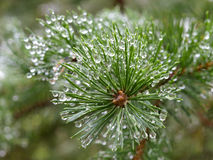 Dew on pine tree. Morning dew in the needles of pine Royalty Free Stock Photos