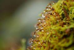 Dew on plants. Macro view of dew on ends of green plant stalks Stock Image