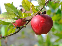 Dew on red apple Stock Photos