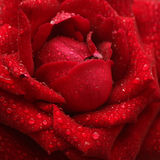 Dew red rose Royalty Free Stock Photo