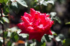Dew on red rose. Beautiful red rose with dew on petals Royalty Free Stock Image