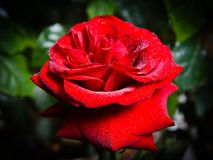 Dew on a red rose in morning beams of the sun. Dew on a red rose in morning beams of sun royalty free stock photo