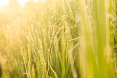 Dew on rice Stock Photo