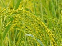 Dew Rice farm. Beautiful rice farm at morning Stock Photography