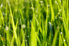 Dew on rice field Royalty Free Stock Photos