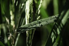 Dew on Rice field Stock Photos
