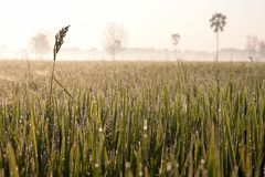 Dew on the rice field in the morning Royalty Free Stock Image