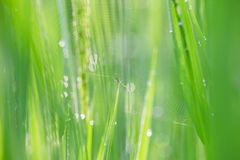 Dew on Rice field Royalty Free Stock Images
