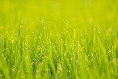 Dew on rice. Dew on the green rice field in the morning every day in the winter Royalty Free Stock Images