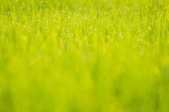 Dew on rice. Dew on the green rice field in the morning every day in the winter Stock Photo