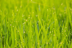 Dew on rice Royalty Free Stock Images
