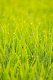 Dew on rice. Dew on the green rice field in the morning every day in the winter Royalty Free Stock Photos
