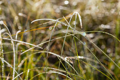 Dew and rime on grass in autumn morning Royalty Free Stock Photo