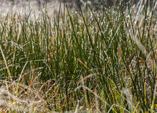 Dew and rime on grass in autumn morning Royalty Free Stock Photography