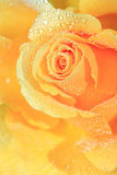 Dew rose. Yellow bright rose in dew Stock Photography