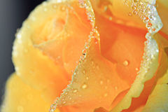 Dew rose 3 Royalty Free Stock Photos