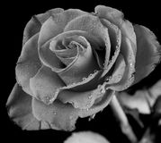 Dew on rose. Close up of dew on rose petals, black and white photograph stock photos