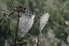 Dew on spider's web. Autumn spider's web with fine beads of dew royalty free stock images