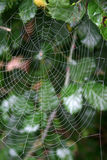 Dew on spider web. Spider in web covered with early morning dew Stock Image