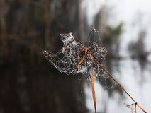 Dew Spider Web. Dew  spider web on dry branch Stock Photography