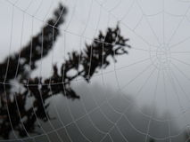 Fresh morning dew on Spider web. In-focus shot of a spiderweb covered in fresh dew droplets, with an out-of-focus pine branch in the mid ground and a faintly Stock Images