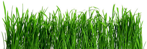 Dew on spring grass. Dew on Seamless fresh spring green grass isolated on white background Stock Images