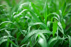 Dew in spring grass. Dew drops in fresh green spring grass Stock Image