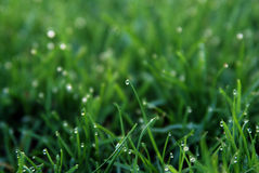 The Dew .Spring Grass. Fresh dew drops in the grass. Spring morning after a shower of rain Royalty Free Stock Image