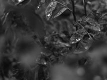Dew on Sweet leaf Cangkuk Manis monochrome royalty free stock photography