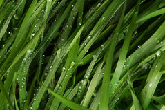 Dew on Thick Green Grass Royalty Free Stock Image