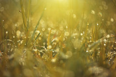 Dew on top grass Royalty Free Stock Image