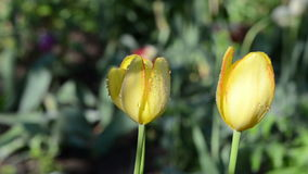 Dew on tulip flower. Morning dew water drops on three yellow tulip flower buds blooms early in spring garden. Birds sing stock footage
