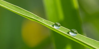 The dew. In warm season early in the morning, people in the roadside grass, leaves and crops can often be seen on dew, dew and frost, nor does it come down from Royalty Free Stock Photos