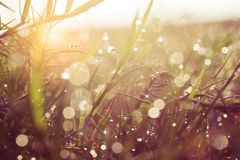 Dew and water drops on green grass with sun ray behind. Royalty Free Stock Image