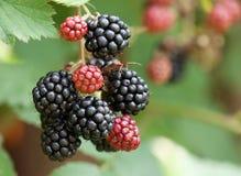 Dewberries på en buske royaltyfri foto