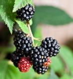 Dewberries på en buske royaltyfri fotografi