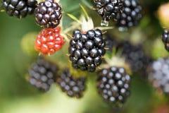 Dewberries på en buske Skjuten makro arkivbild