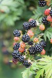 Dewberries på en buske Skjuten makro royaltyfri foto