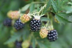 Dewberries på en buske Skjuten makro royaltyfri bild