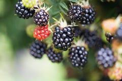 Dewberries på en buske Skjuten makro royaltyfria bilder