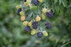 Dewberries på en buske Skjuten makro fotografering för bildbyråer