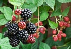 Dewberries på en buske Royaltyfria Foton