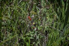 Dewberries som mognar i ett fält royaltyfri foto
